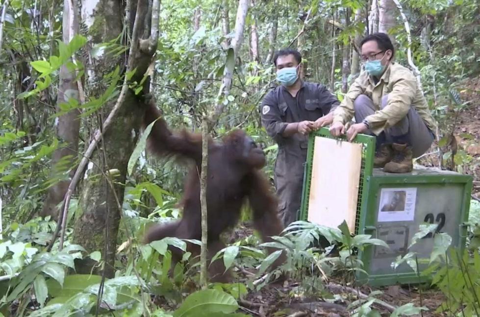 Indonesia_Orangutans_Freed.JPG_t1170
